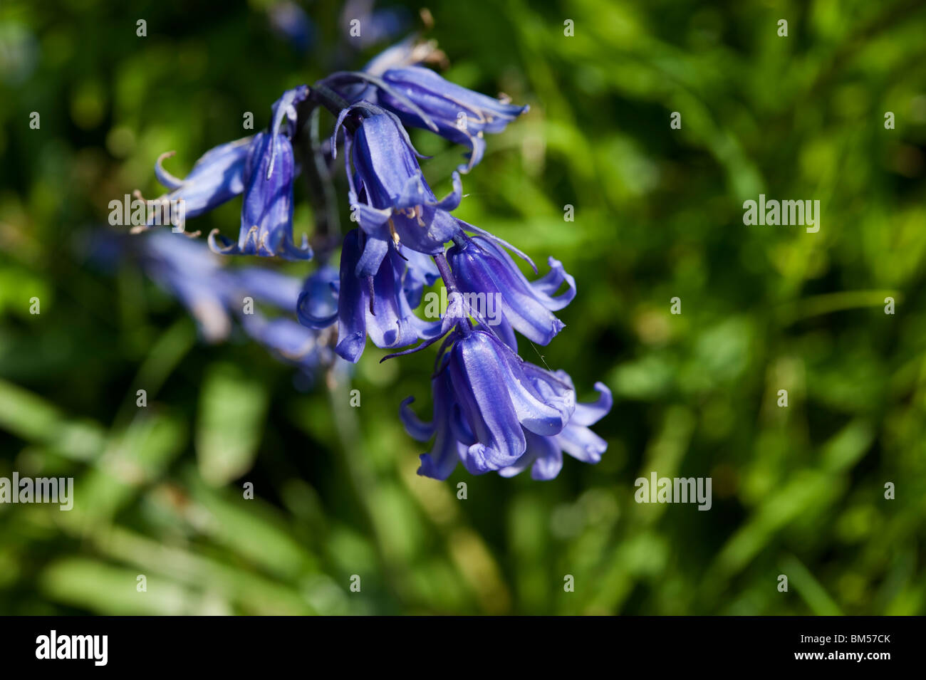 Bluebells, or Hyacinthoides non-scripta or  Endymion non-scriptum, Scilla non-scripta, blooming in May - Stock Image
