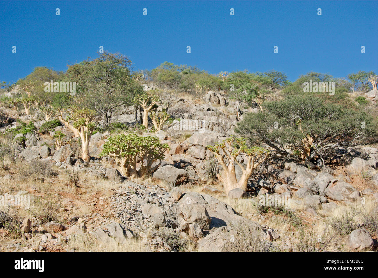 Landscape of Namibia with trees and  blue sky, Africa - Stock Image