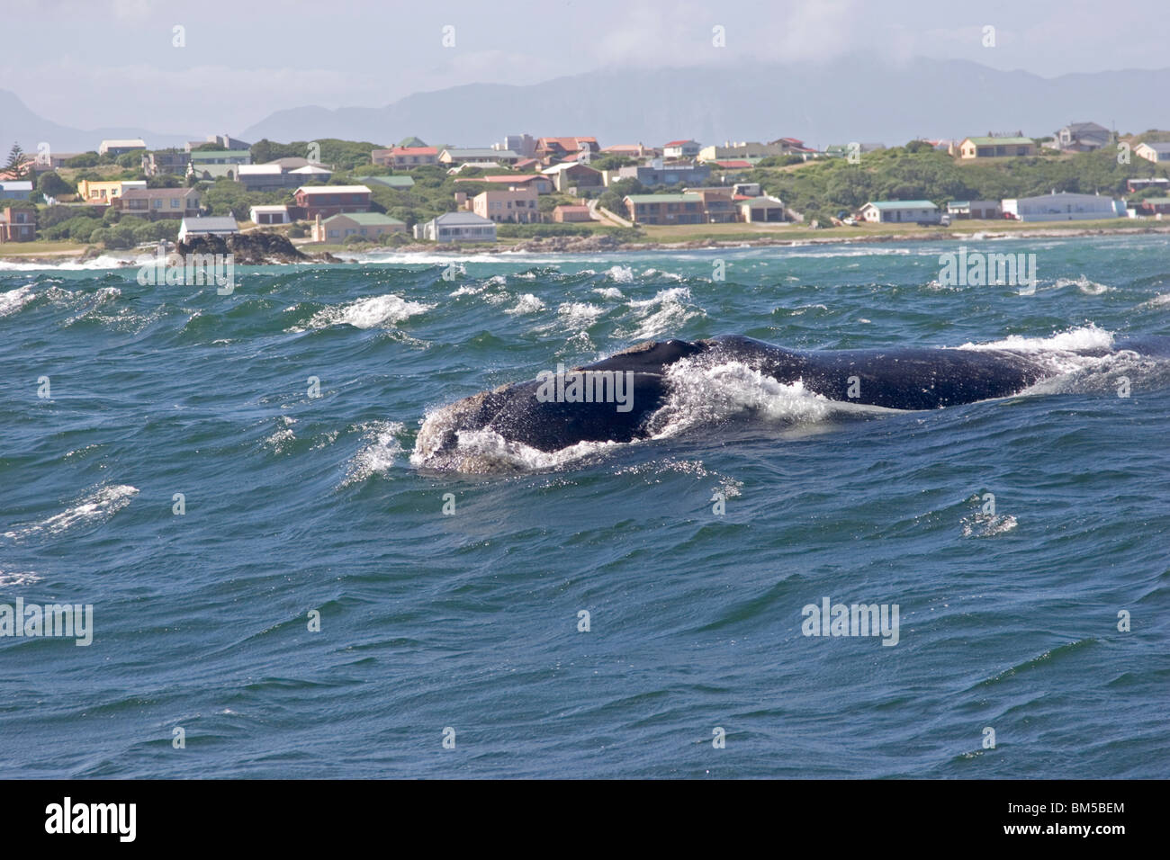 Southern right whale, South Africa / Eubalaena australis - Stock Image