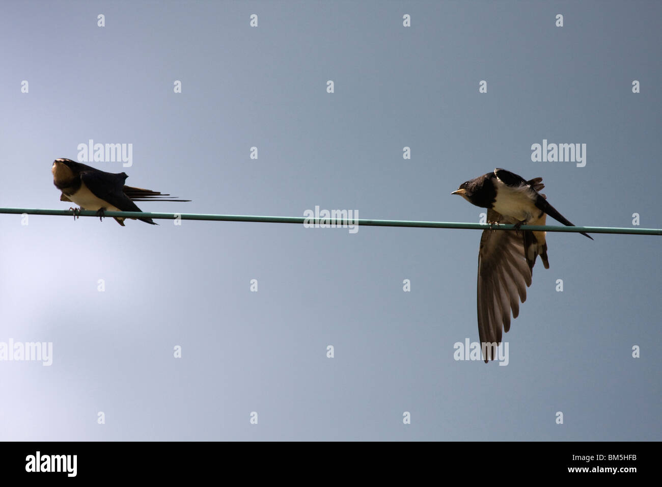 Chimney Swallow Stock Photo