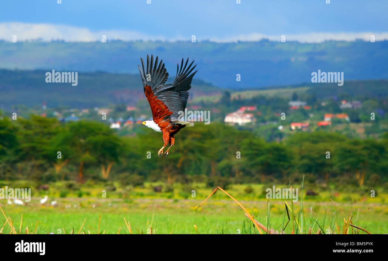 African fish eagle flying above lake Naivasha. Africa. Kenya - Stock Image