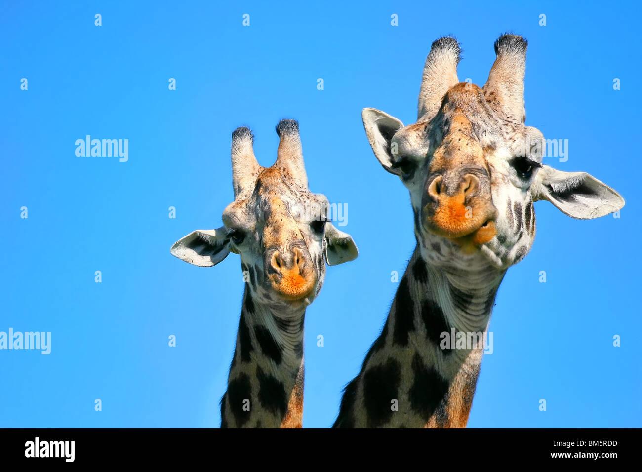 Portrait of mother and baby giraffe. Africa. Kenya. Masai Mara - Stock Image