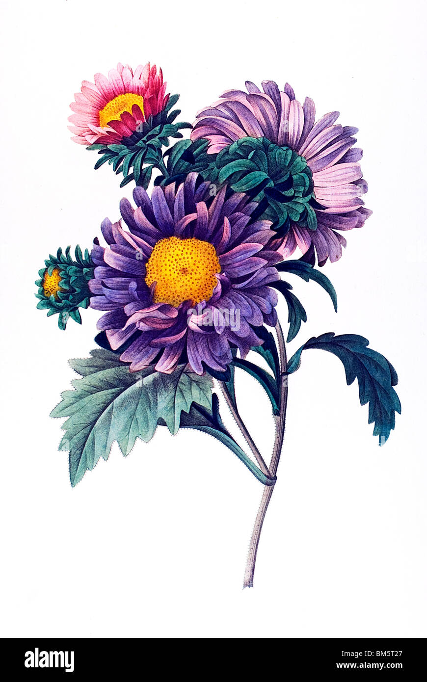 China Aster violett - Stock Image