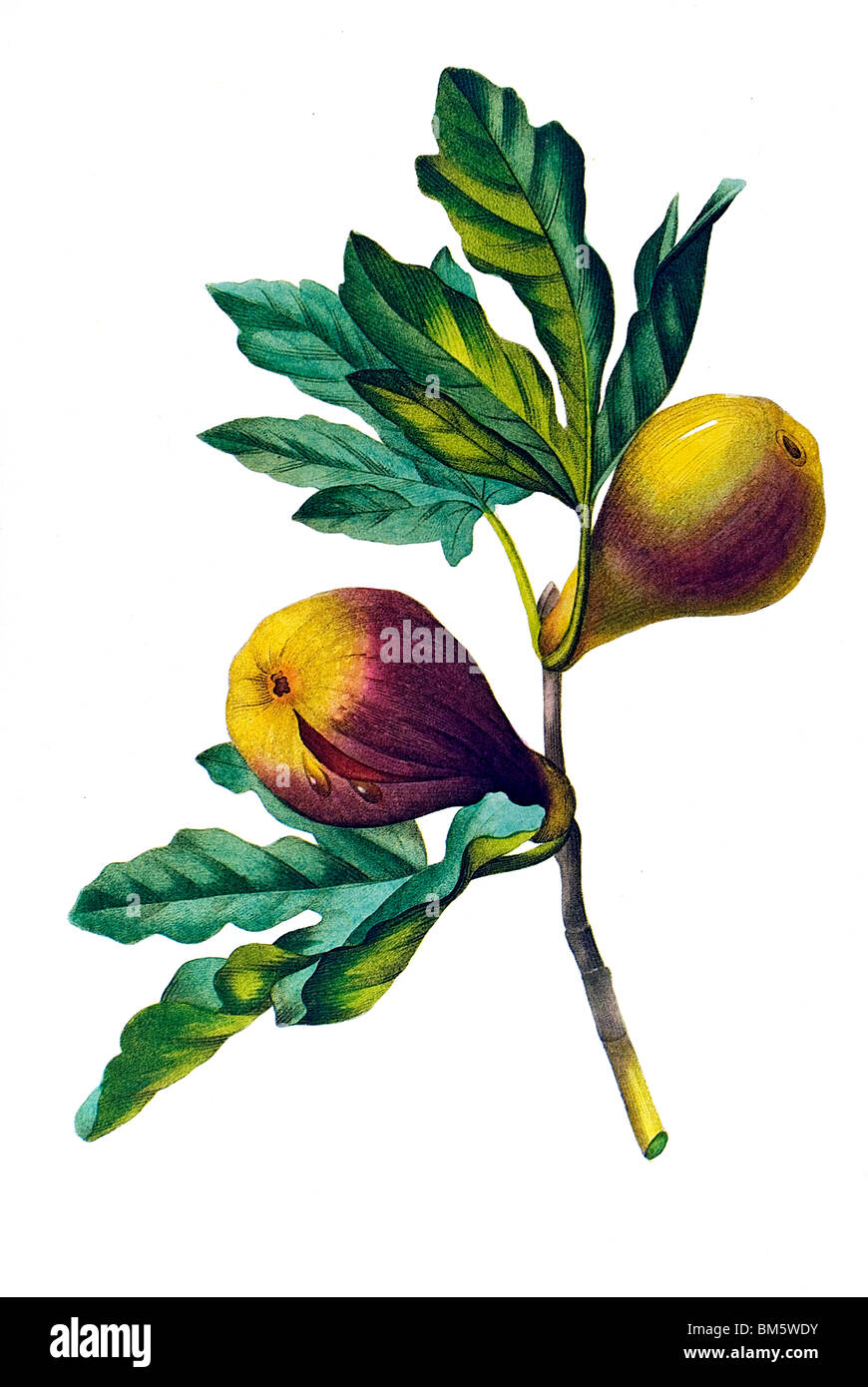 Violett fig - Stock Image