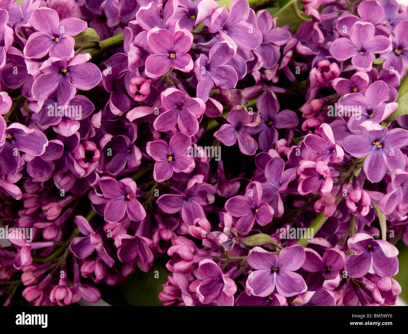 Closeup picture of beautiful purple lilac - Stock Image