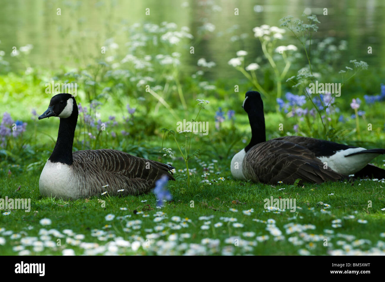 Two Sitting Geese in Spring - Stock Image