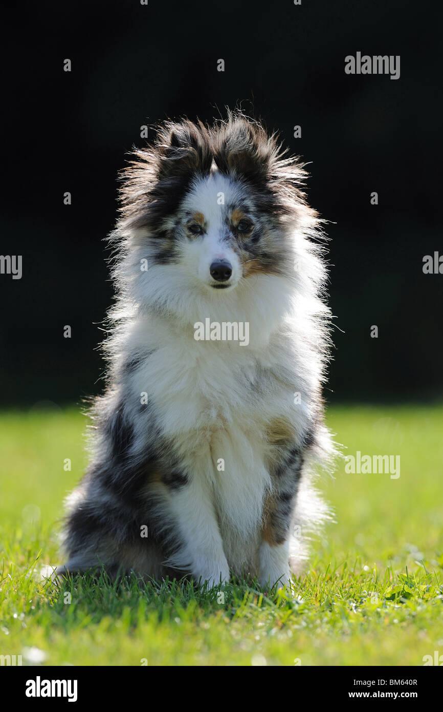 Sheltie, Shetland Sheepdog (Canis lupus familiaris), adult sitting on a lawn. Stock Photo
