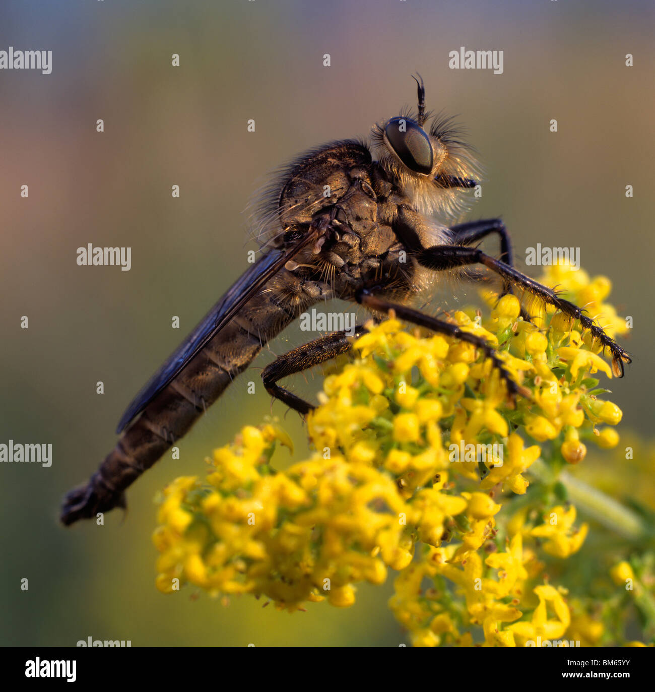 Robber Fly (Pamponerus germanicus) on a yellow flower. - Stock Image