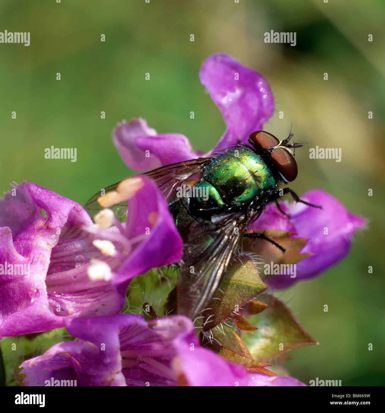 Metalic fly (Neomyia cornicina) on a flower. - Stock Image