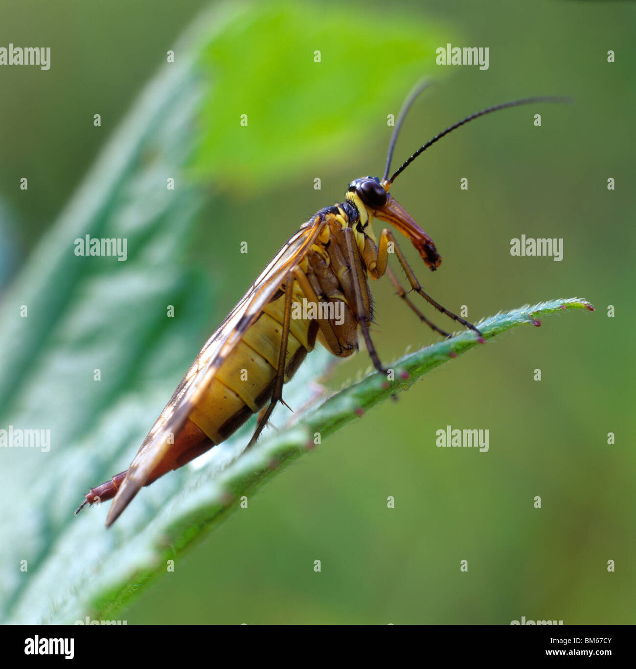 Common Scorpionfly (Panorpa communis), adult on a leaf. - Stock Image