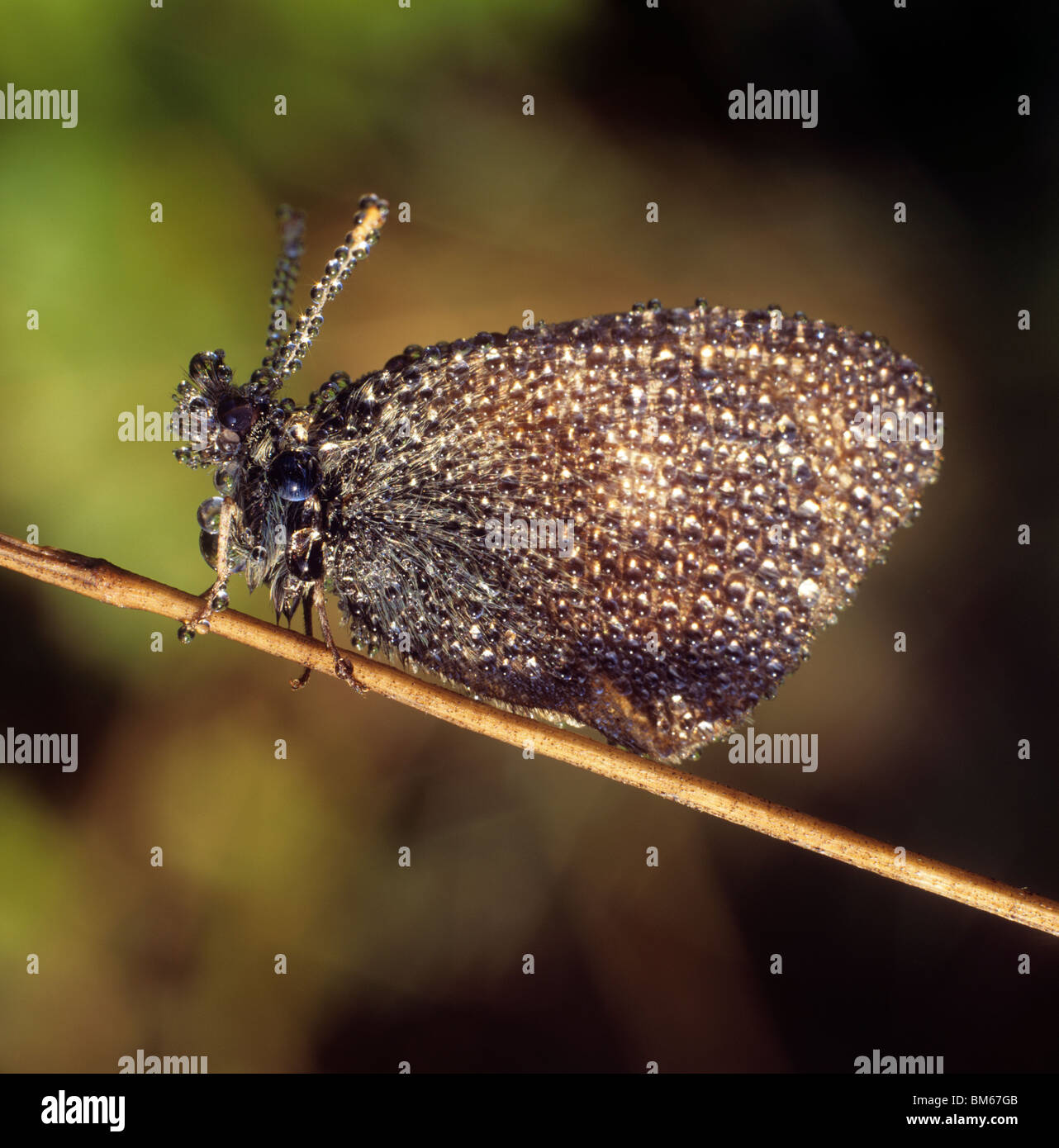 Chestnut Heath (Coenonympha glycerion), butterfly covered in dew. - Stock Image