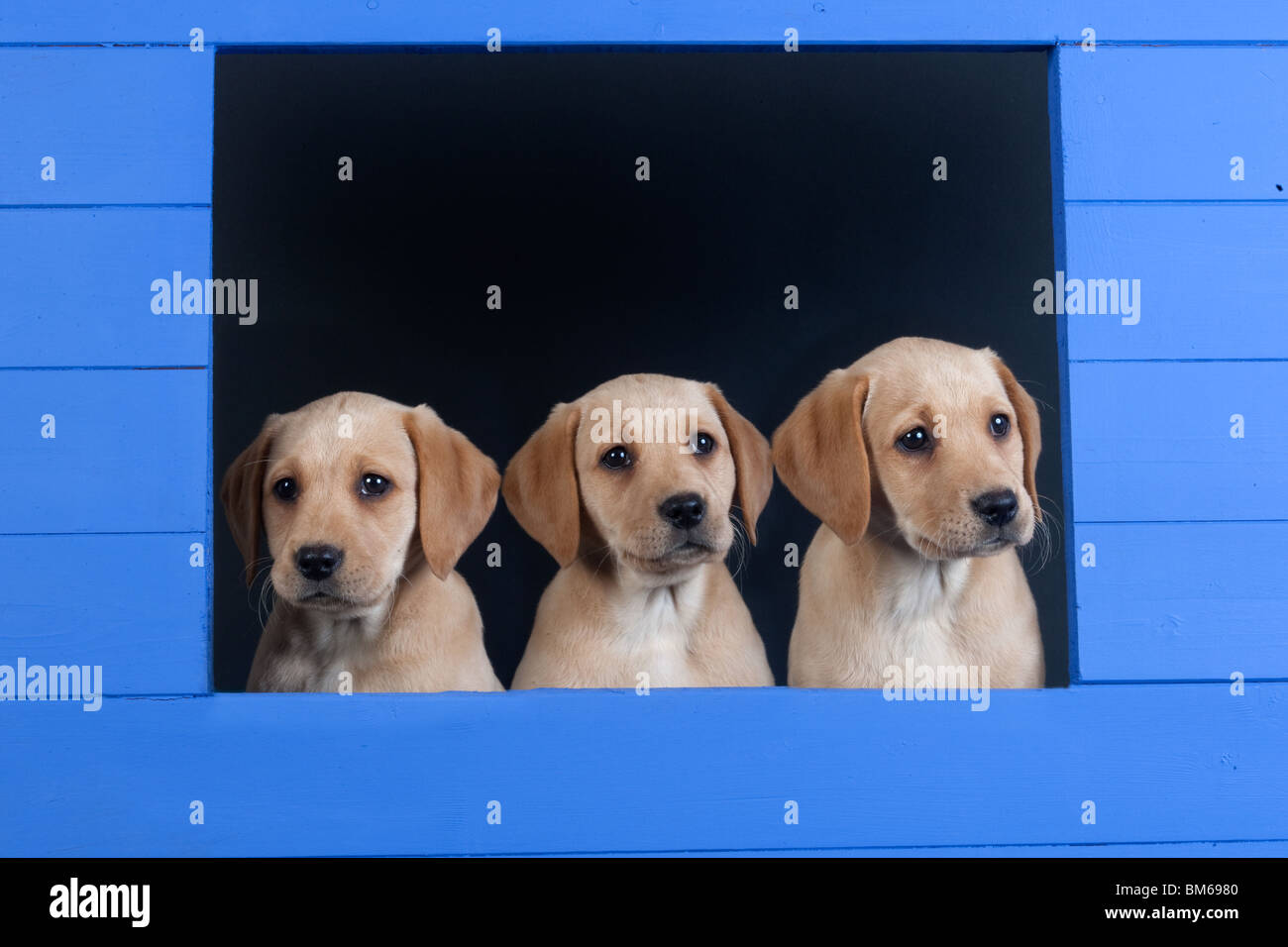 Yellow Labrador Puppies Looking From Blue Kennel Stock Photo Alamy