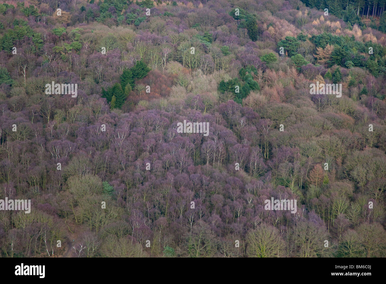 Conifers and Beech woodland aerial Norfolk March - Stock Image