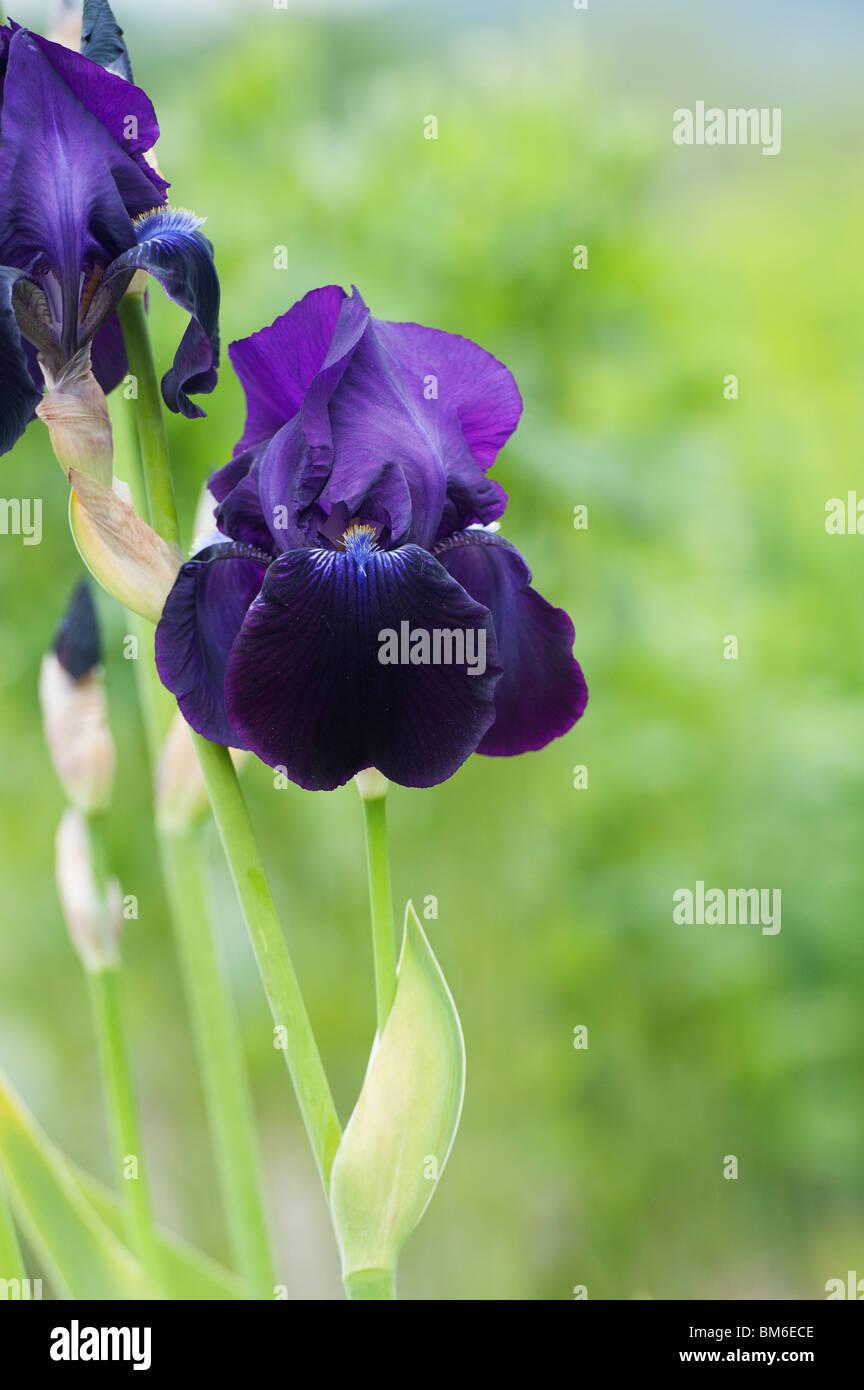 Tall Bearded Iris 'sable' flower - Stock Image