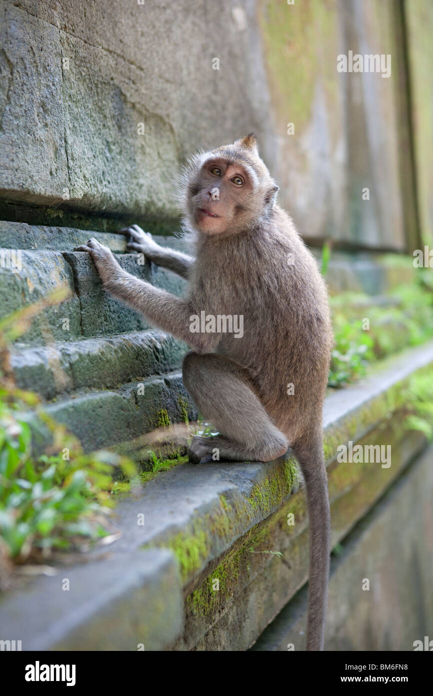 Monkey in monkey-forest, Ubud,Bali,Indonesia - Stock Image