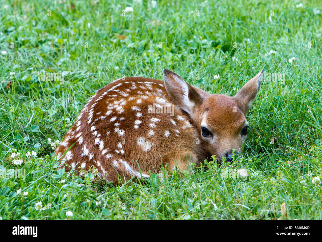 A Fawn A Baby Deer Left In The Open The Fawn Is Laying