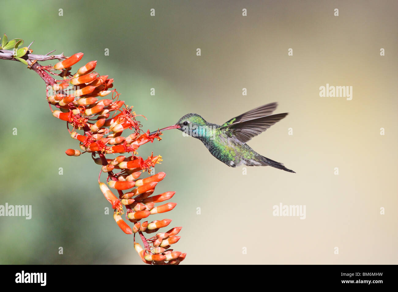 Broad-billed Hummingbird Adult Male at Ocotillo flowers. - Stock Image