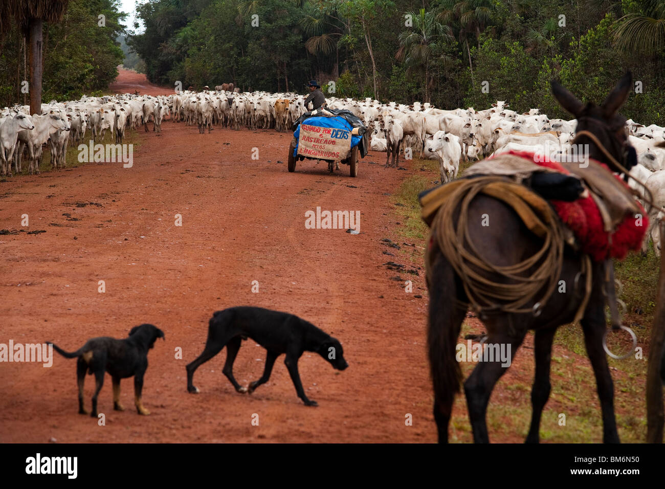 Herd of cattle, BR-163 road ( Cuiabá - Santarém road ) at South Para State, Amazon, Brazil. - Stock Image
