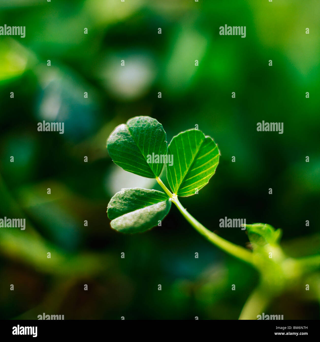 Single Leaf Of Shamrock - Stock Image