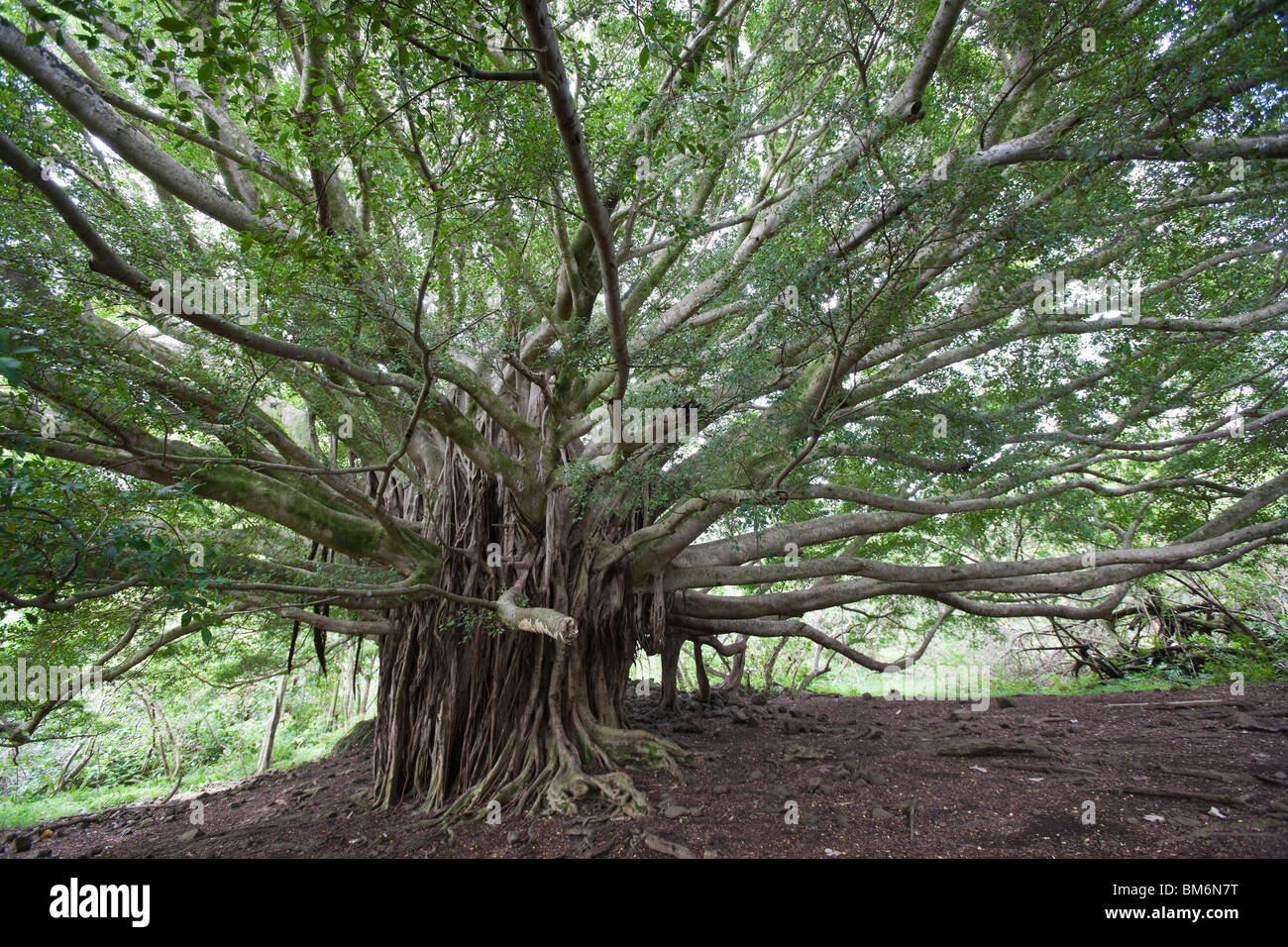 Good Aerial Root Ficus Benjamina - a-large-spreading-banyan-tree-ficus-sp-sends-aerial-roots-around-a-BM6N7T  Collection_42828.jpg