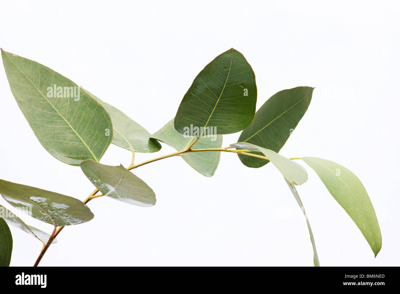 Close-up of eucalyptus leaves on a branch on white background Stock Photo