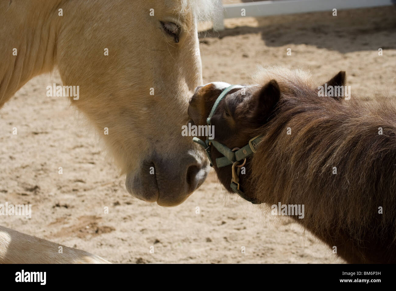 Shetland Pony and American Cream Draft Horse at  Cosley Zoo - Stock Image