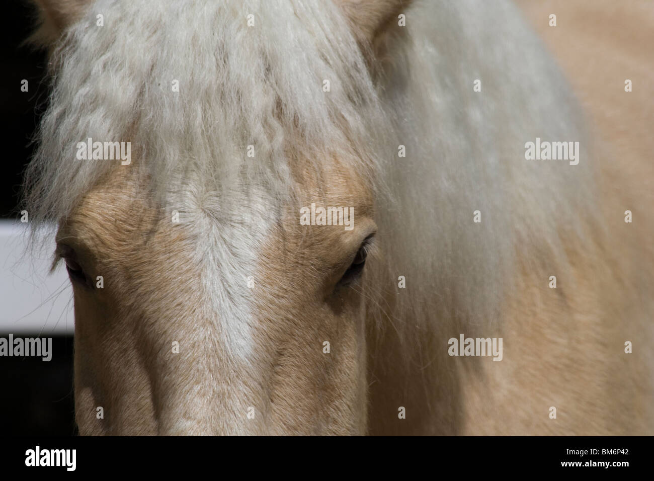American Cream Draft Horse at Cosley Zoo. (Equus caballus caballus) - Stock Image