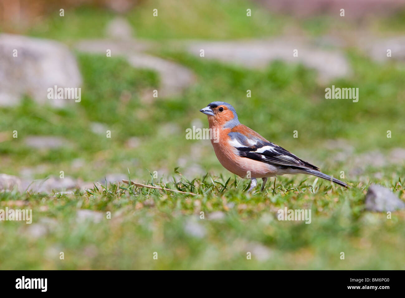 A male Chaffinch (Fringilla coelebs) outside the Black Sail youth Hostel in Ennerdale, Lake District, UK. - Stock Image