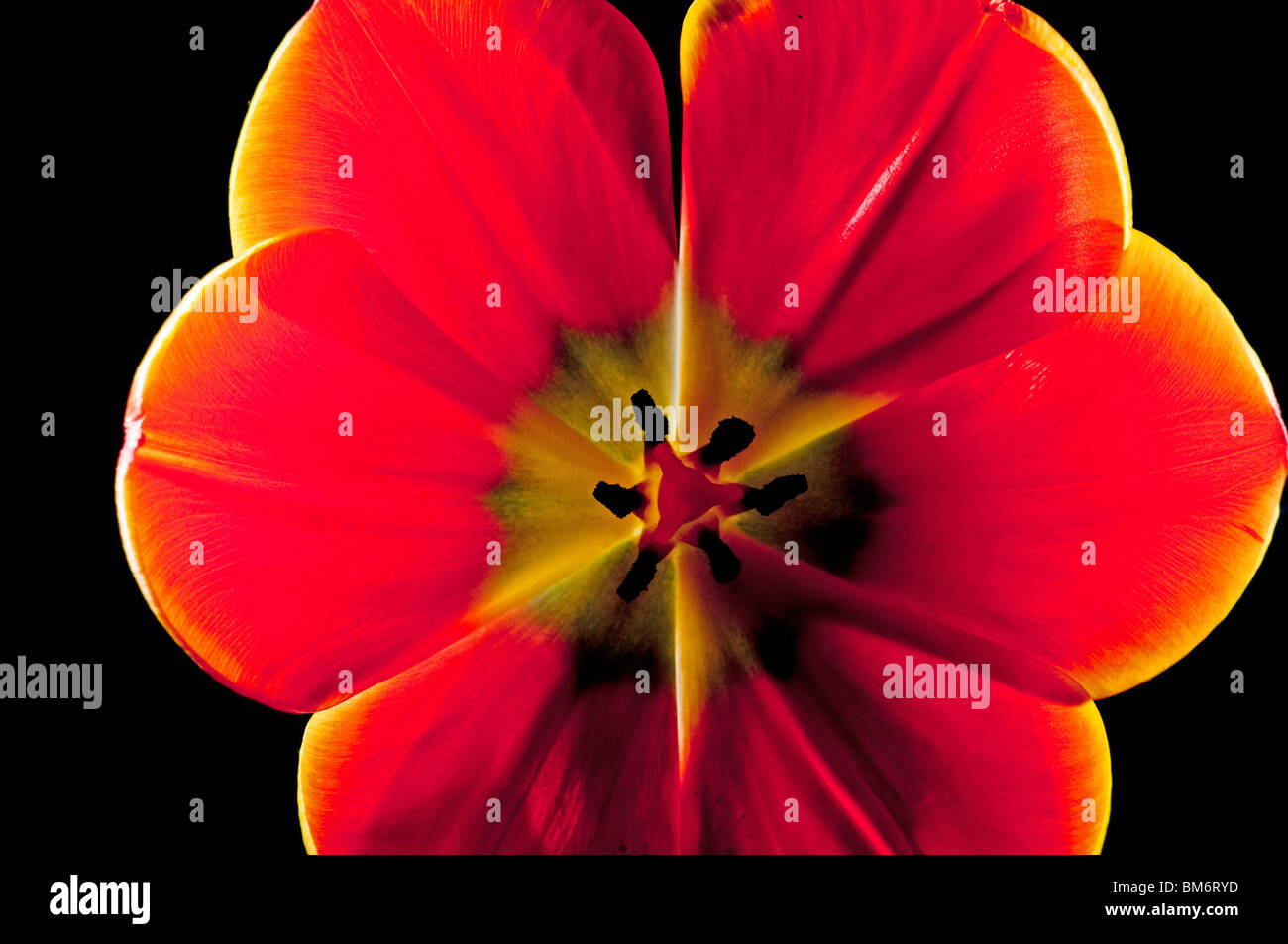 Interior of orange tulip - Stock Image