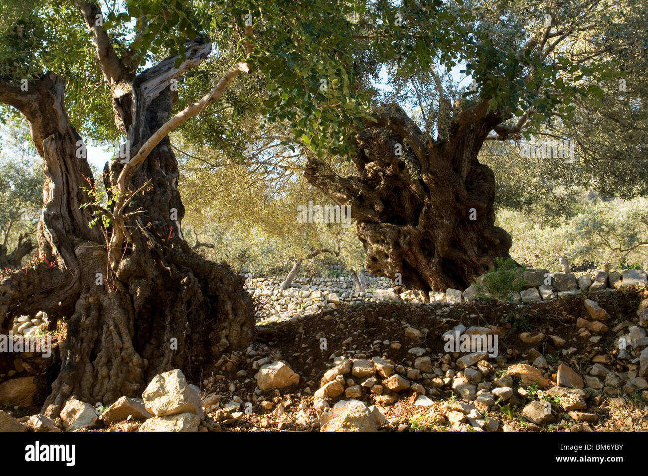 In Majorca, some hundred-year-old olive trees (Balearic islands - Spain). Quelques oliviers centenaires, à - Stock Image