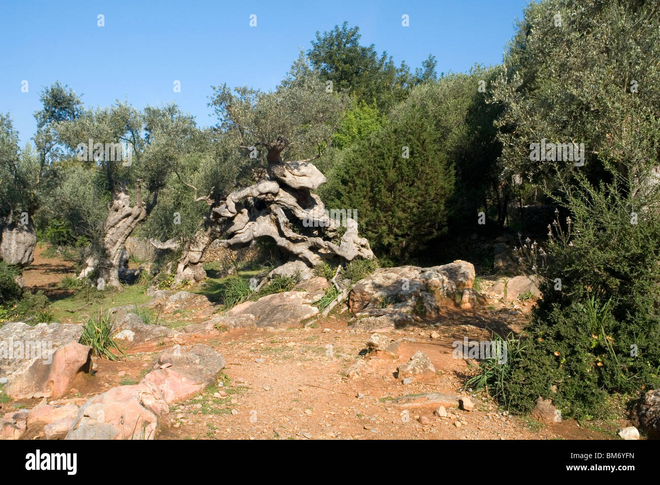 In Majorca,a several hundred-year-old olive tree (Balearic islands - Spain). A Majorque, un olivier pluri-centenaire - Stock Image