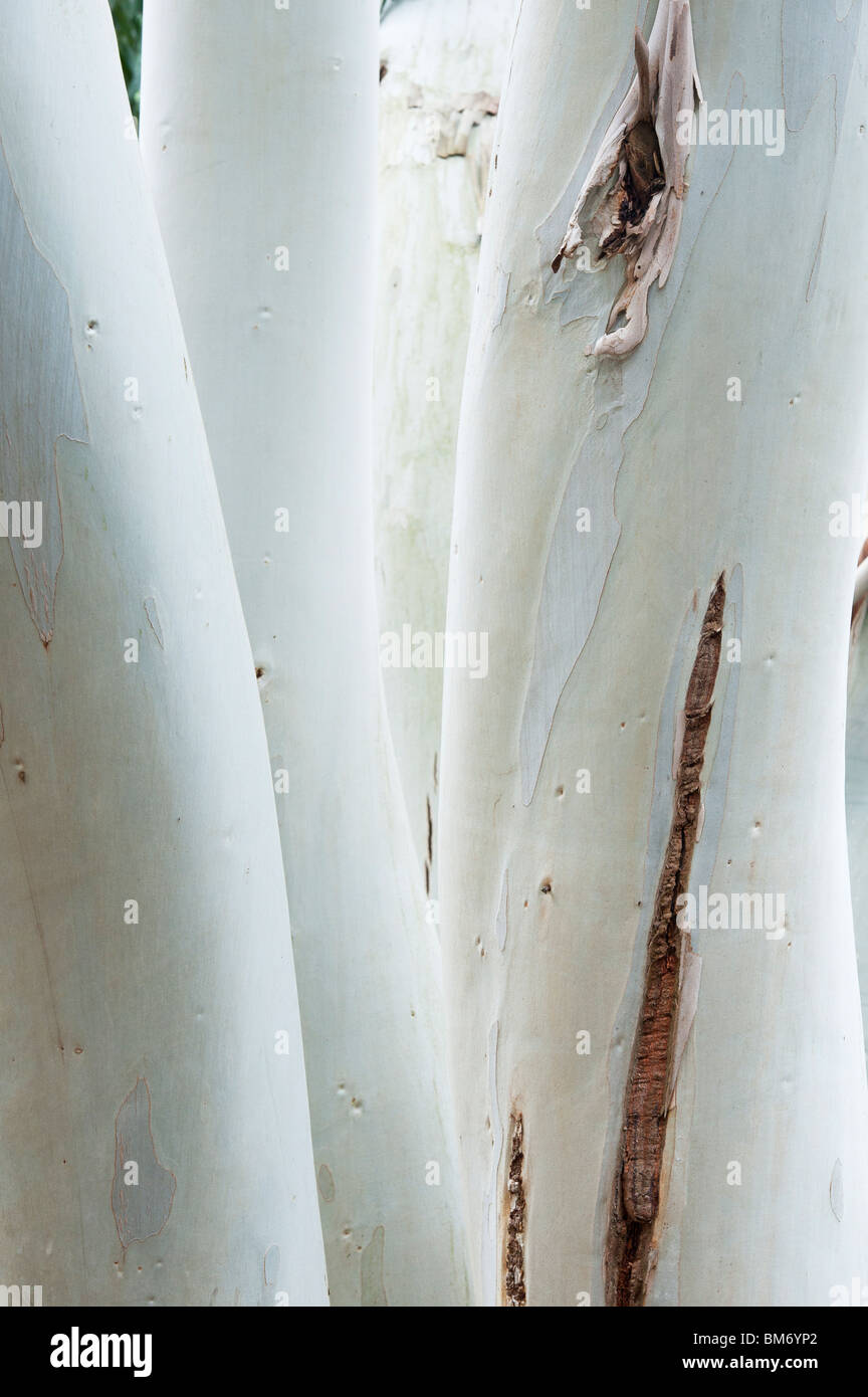 Eucalyptus dalrympleana. Mountain gum tree trunks - Stock Image
