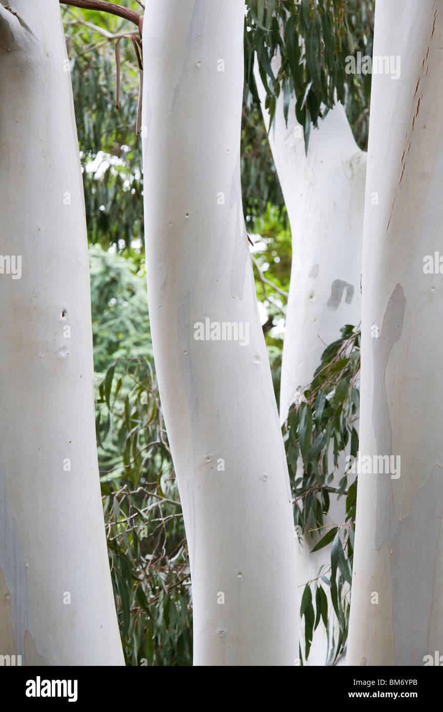 Eucalyptus dalrympleana. Mountain gum tree trunks - Stock Image
