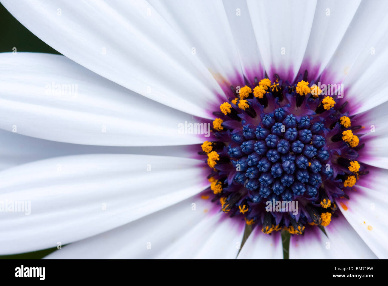 White flower with purple center stock photos white flower with a close up shot of beautiful white flower with purple center stock image izmirmasajfo