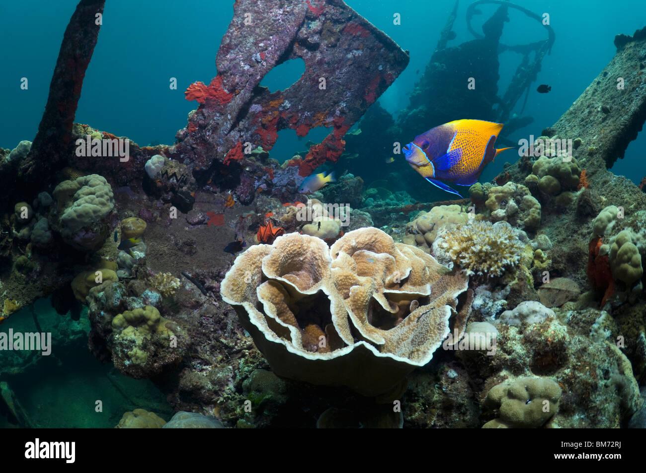 Kasi Maru wreck overgrown with corals.  Solomon Islands. - Stock Image