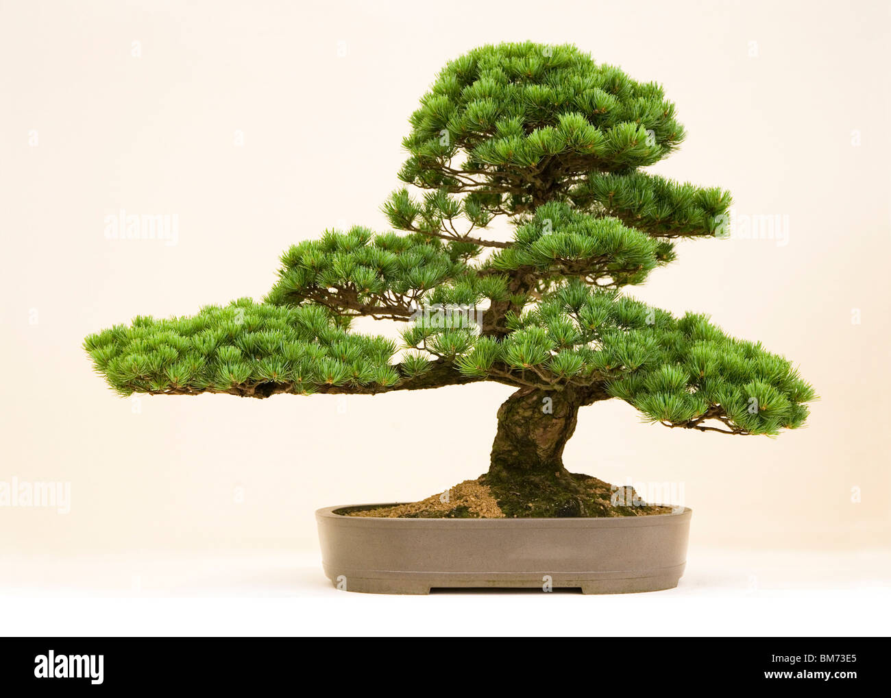 bonsai tree on display against white in clay pot with interesting shape in the studio, green leaves, Japanese hobby - Stock Image