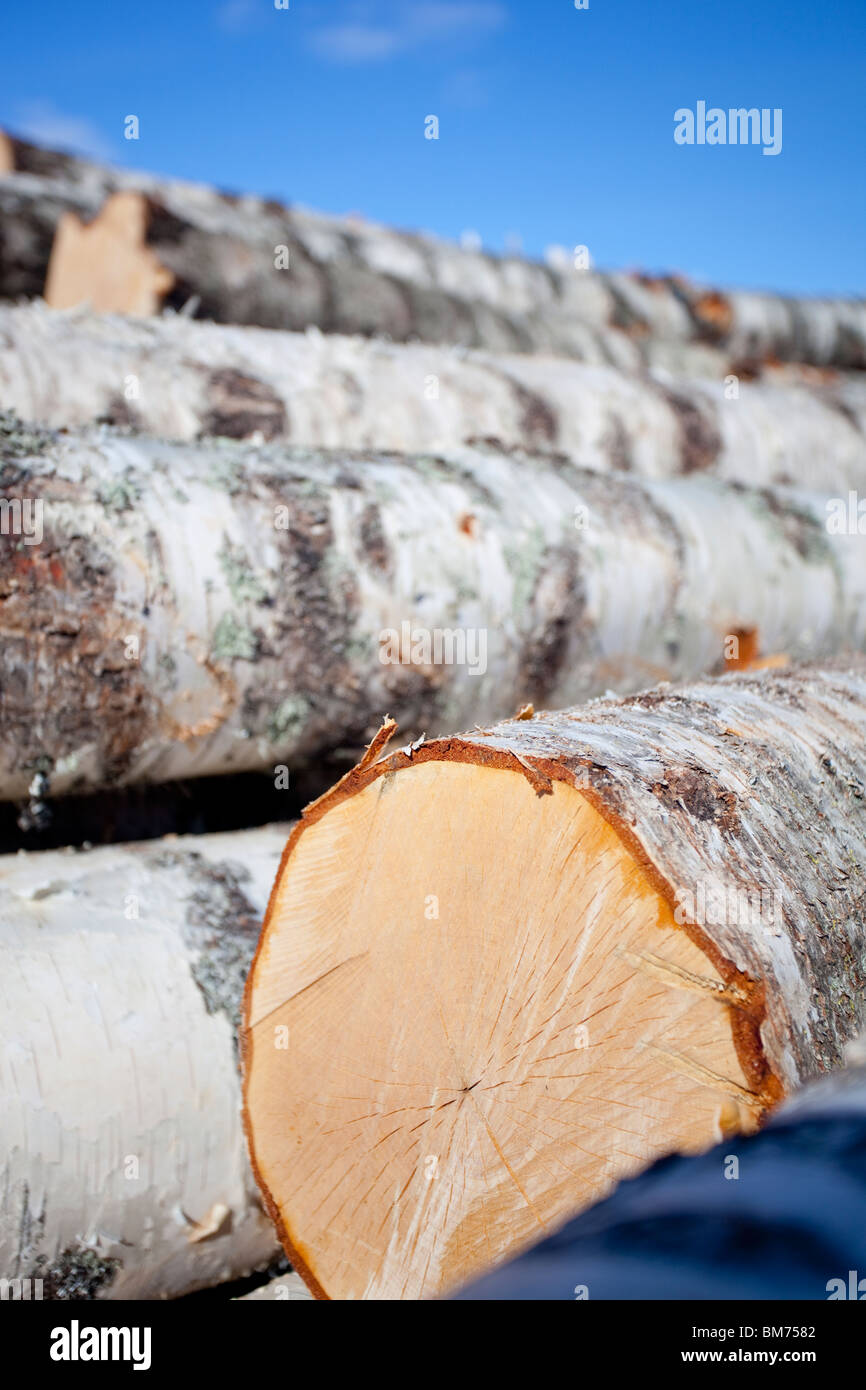 The yellowish sawed end of a birch ( betula ) log in a pile - Stock Image