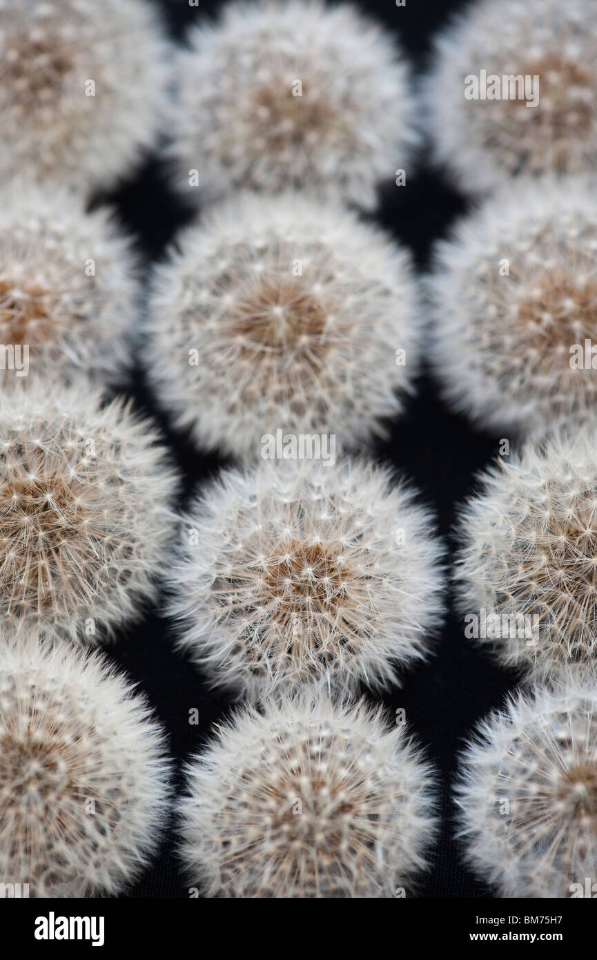 Dandelion seed heads pattern on a black background - Stock Image