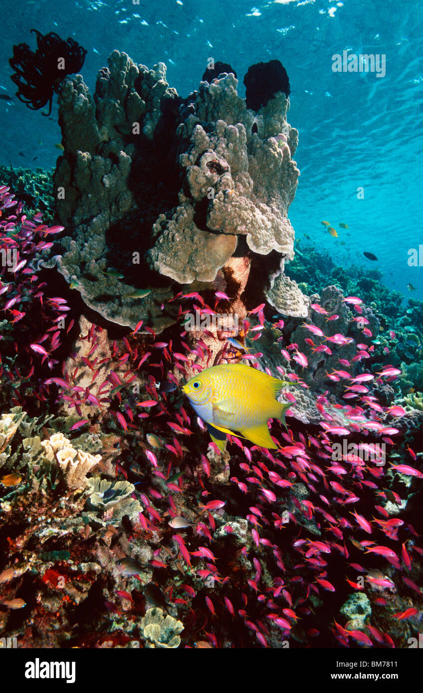 Golden damsel and Yellowstriped anthias over coral reef.  Indonesia. Stock Photo