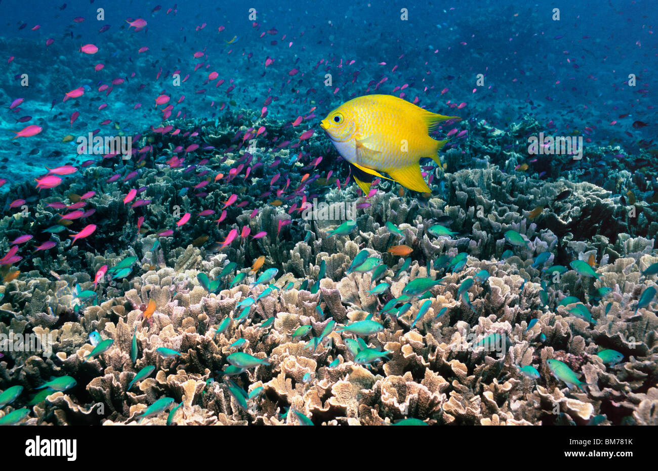 Golden damsel over coral reef with Anthias and Chromis.  Bunaken, Indonesia. Stock Photo