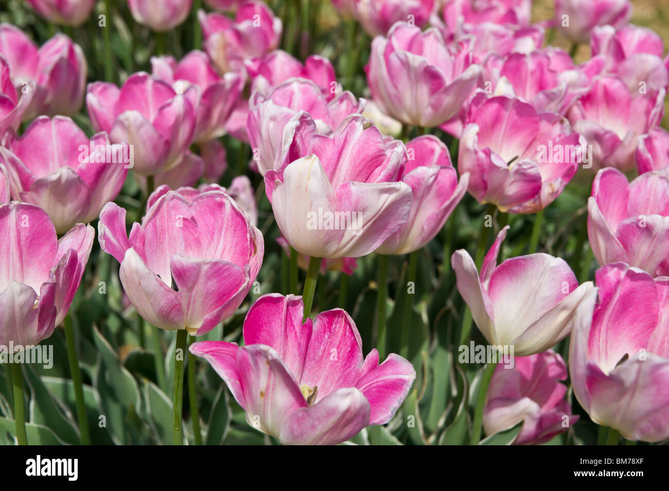 Pink and white Apricot Beauty tulips in a flowering garden in Holland Michigan - Stock Image