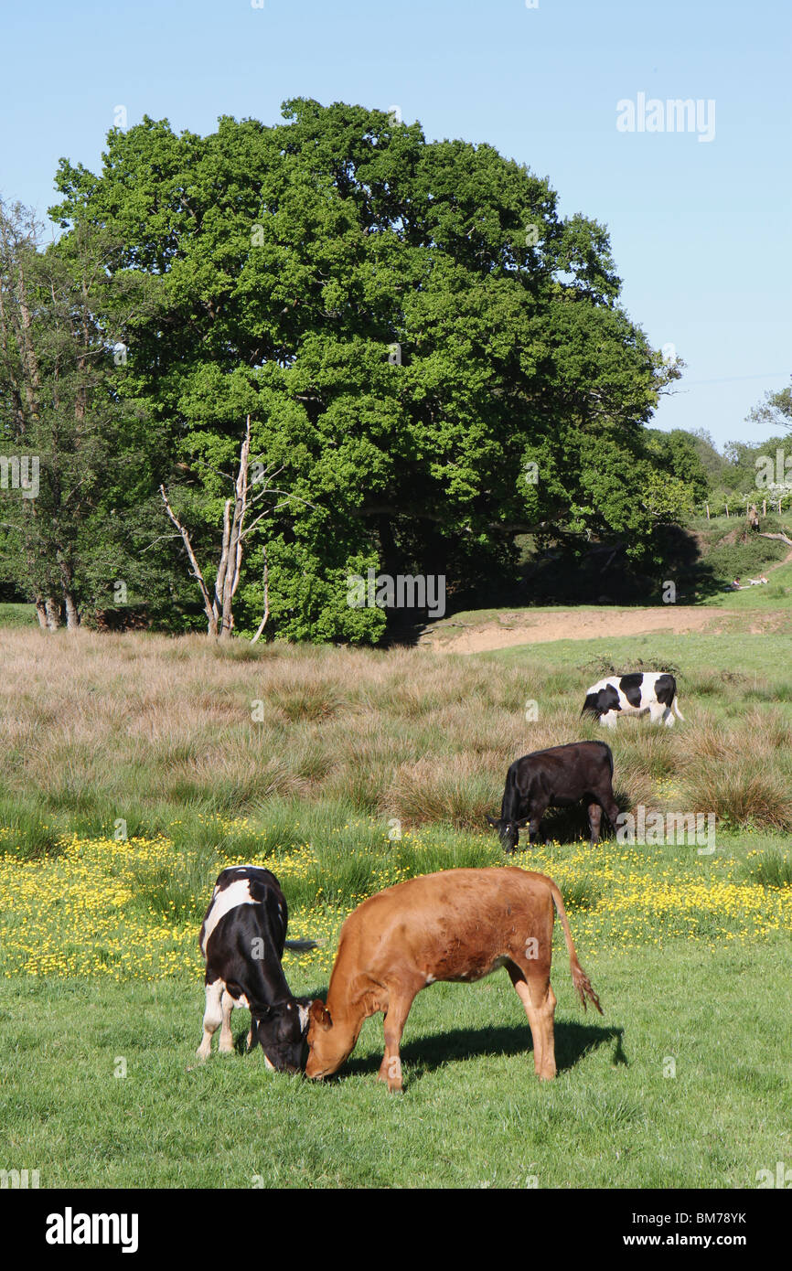 A variety of cows grazing in a colorful field in Hampshire on a sunny day - Stock Image
