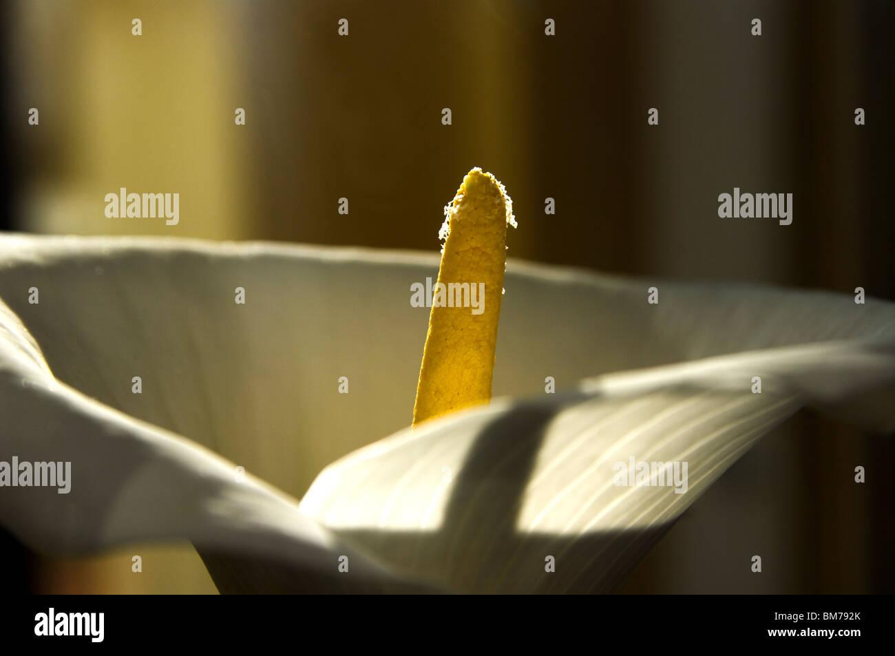 Macro against the spadix of a Calla (Zantedeschia aethiopica) water flower Stock Photo