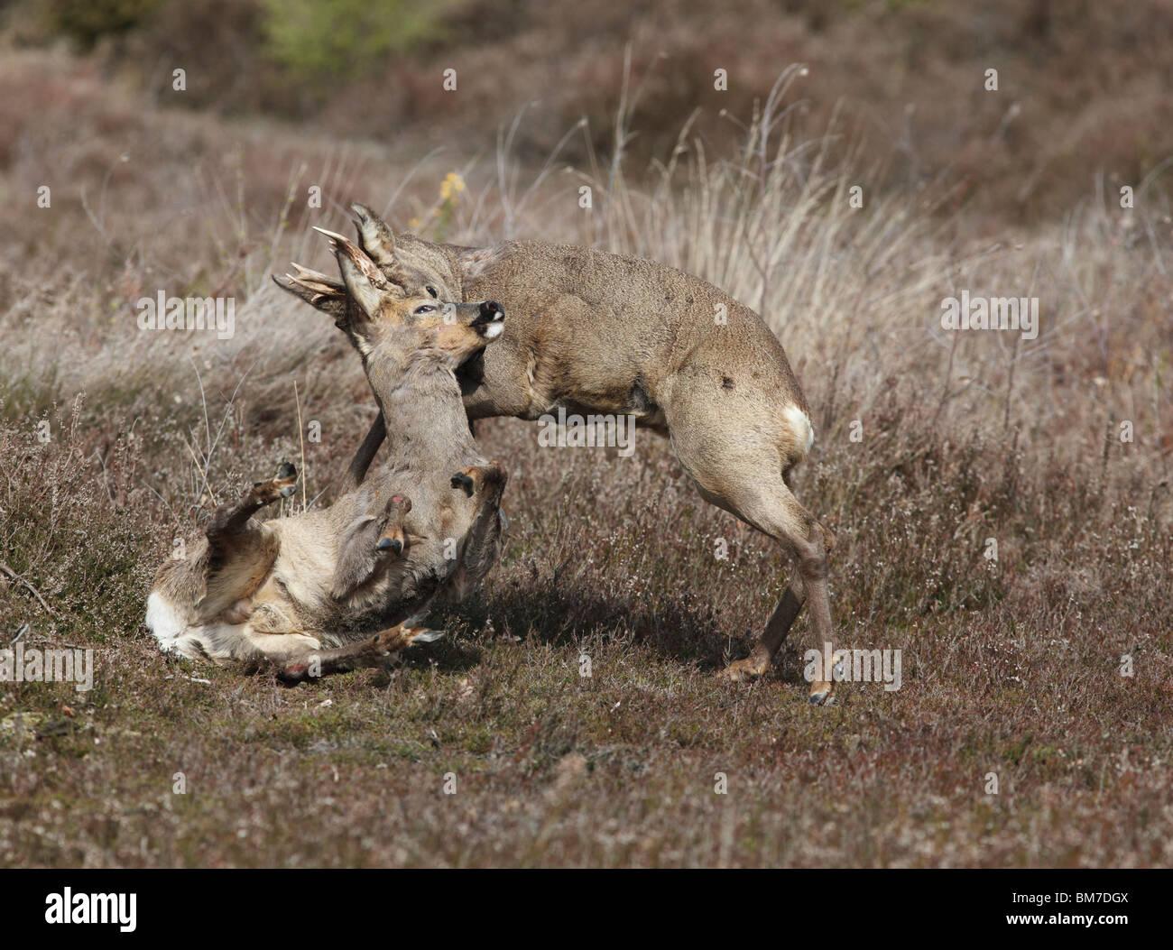 Roe deer (Capreolus capreolus) bucks fighting - Stock Image