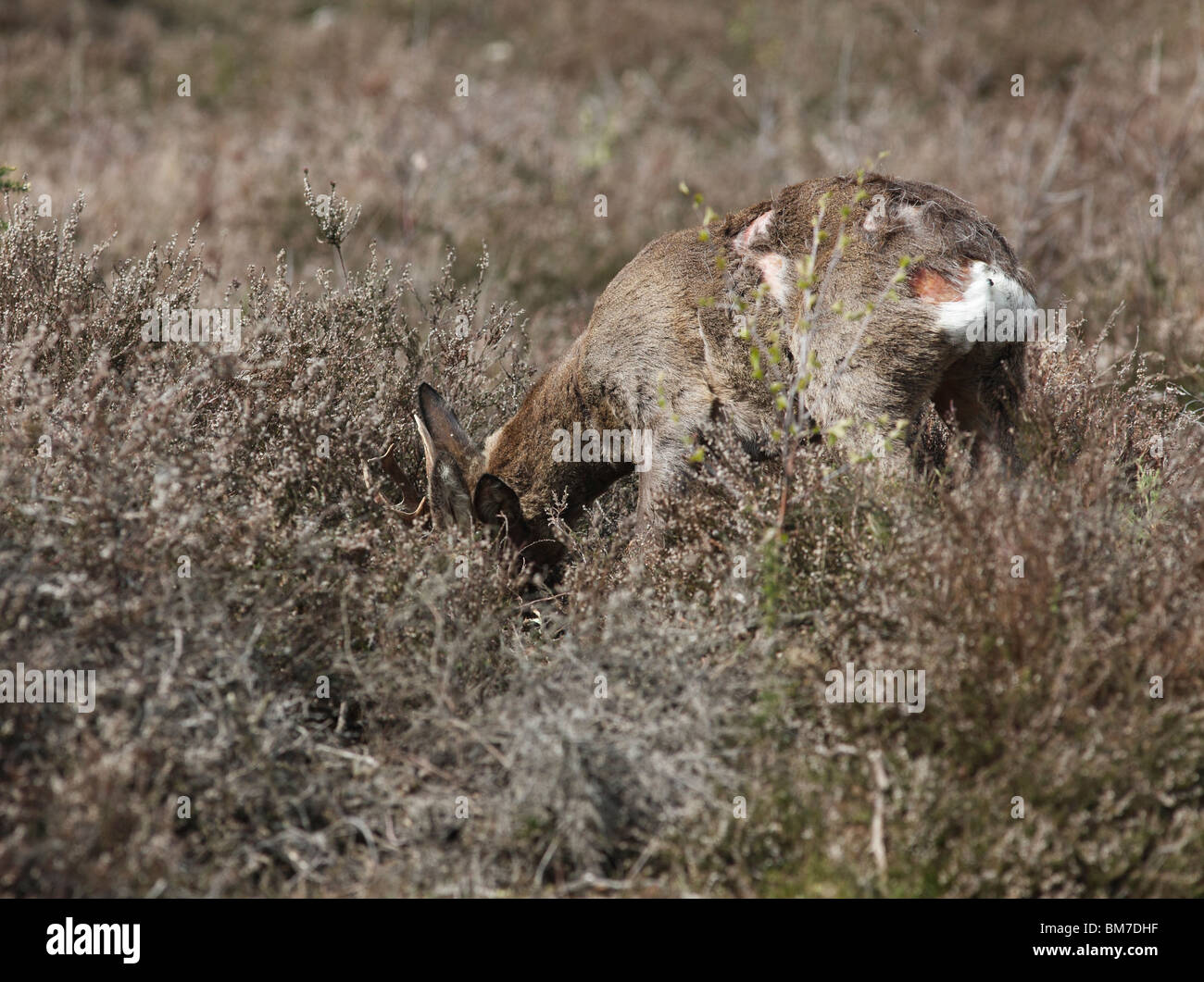 Roe deer (Capreolus capreolus) buck showing fight damage to body - Stock Image