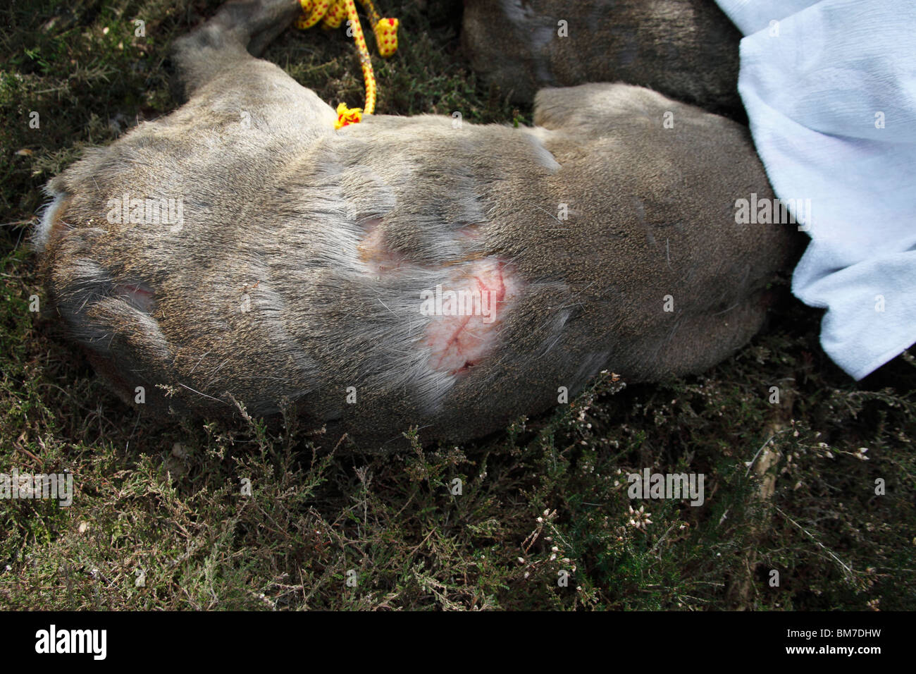 Roe deer (Capreolus capreolus) showing fight damage inflicted by hooves - Stock Image