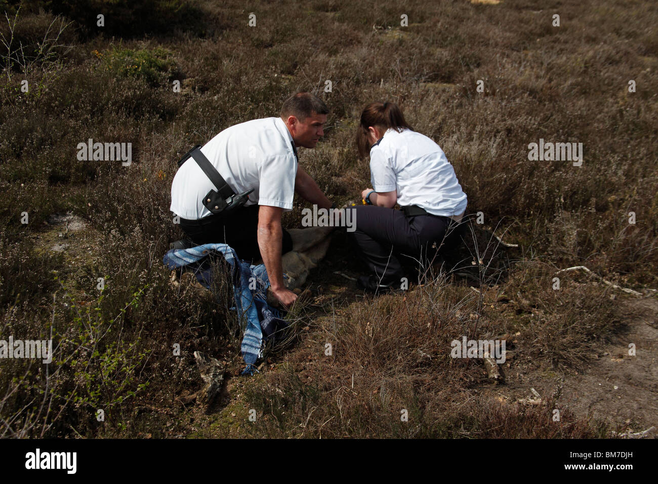 Roe Deer (Capreolus capreolus) with locked antlers RSPCA Inspectors removes leg ropes in preparation for release - Stock Image