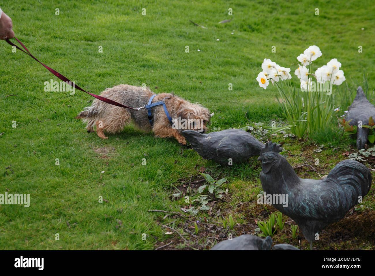 Border Terrier approaching bronze chickens in garden - Stock Image