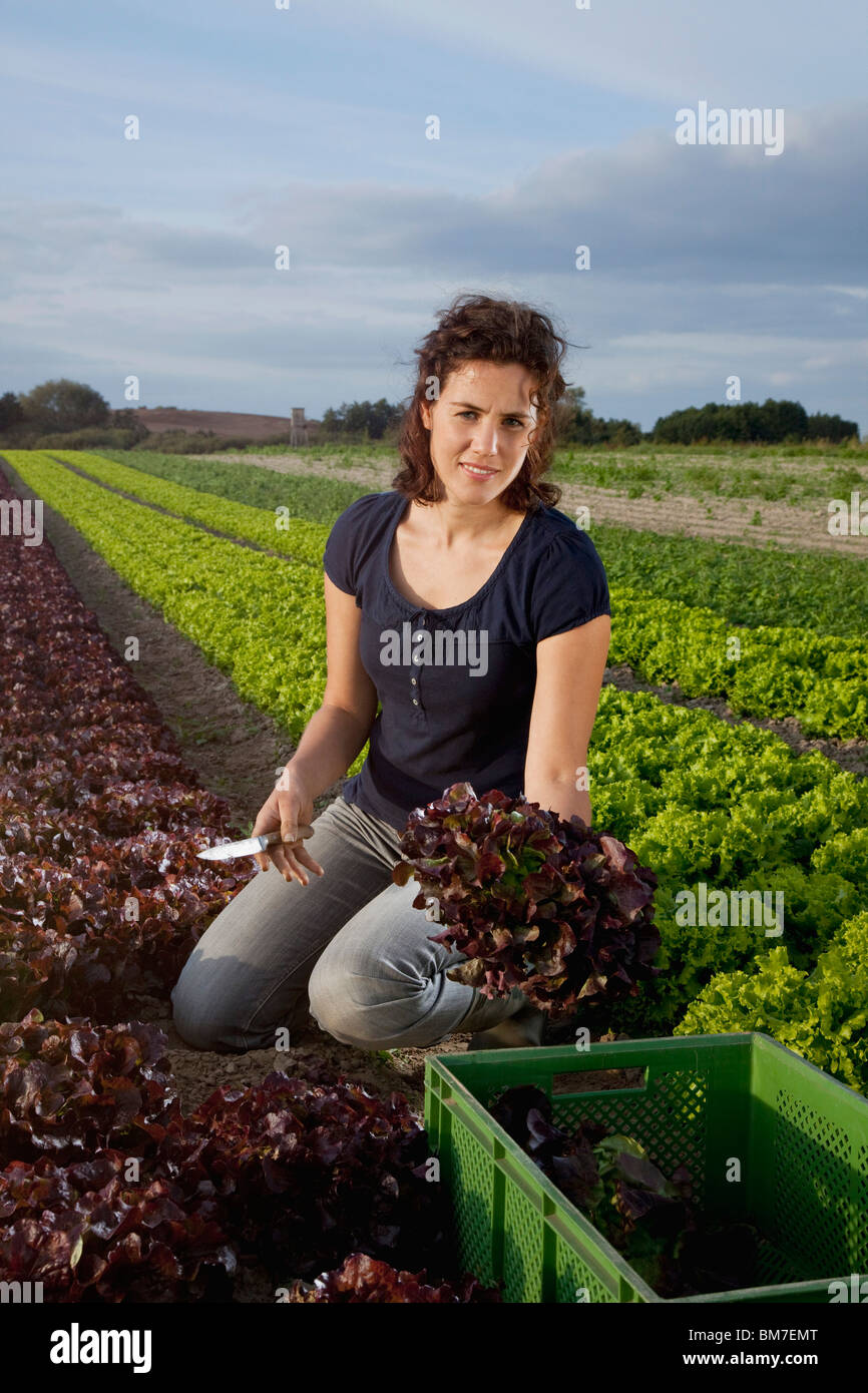 A woman harvesting lettuce in a field - Stock Image