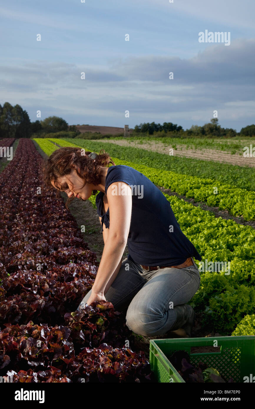 A woman harvesting lettuces in a field - Stock Image